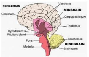 Brain areas